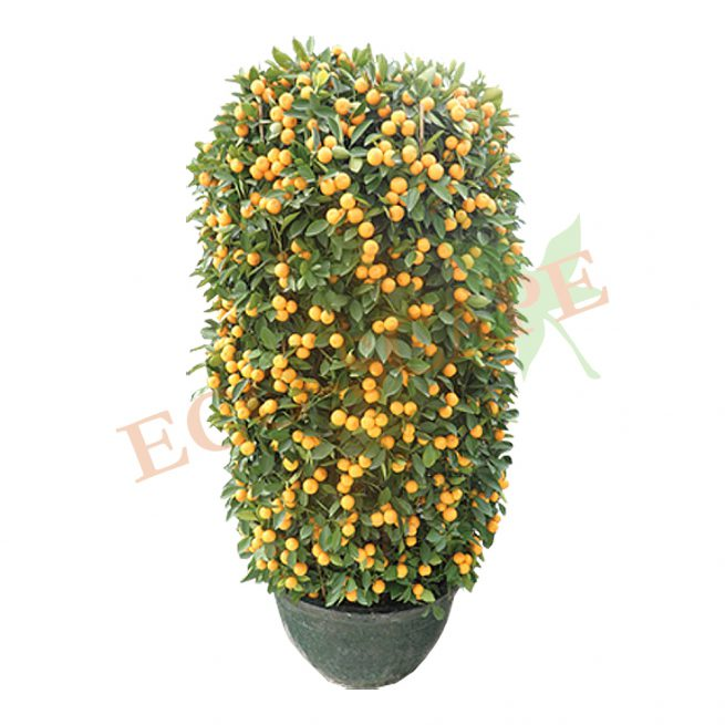 Four Season Lime 14 inch, 60-80 cm-0